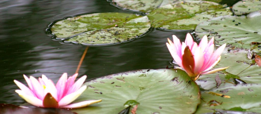 Giverny water lilies